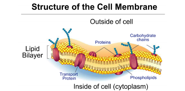 Cell Membrane: Structure And Function! Quiz