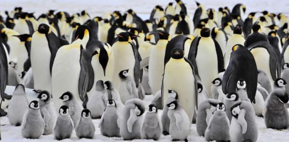 Emperor Penguins Trivia Facts! Quiz