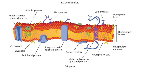 Cell Membrane And Transport Questions: Quiz!