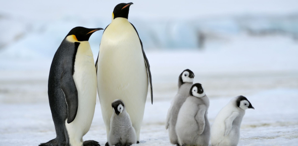 Emperor Penguins Quiz: How Well You Know?