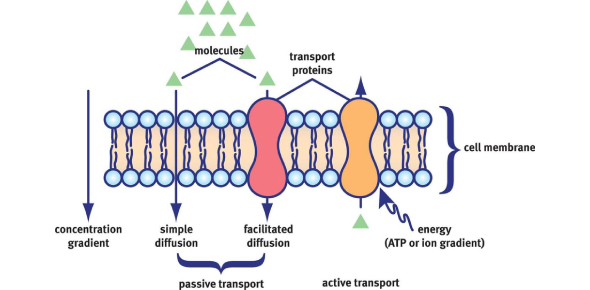 Cell Membrane And Transport Exam: Quiz!