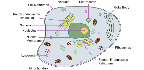 Cell Organelles And Function Quiz Exam!