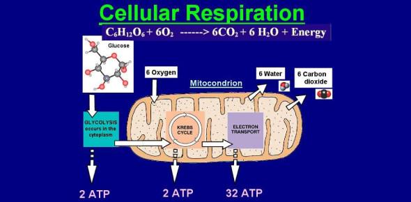 Cellular Respiration Quiz: Test