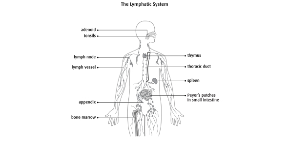 The Lymphatic System MCQ Test: Quiz