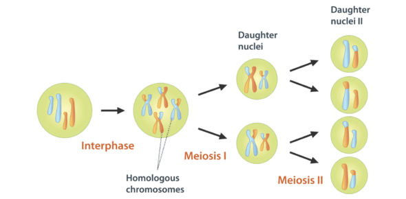 Questions On Meiosis: Quiz!