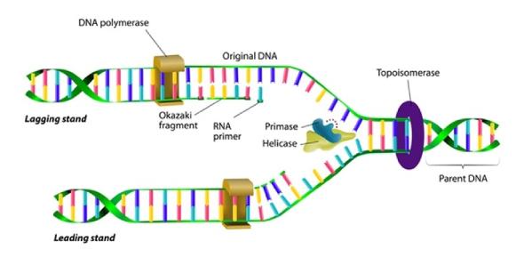 Quiz: Molecular Biology Of DNA Replication Process