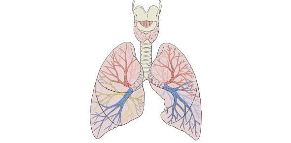 Basic Lung Anatomy Test: Quiz!