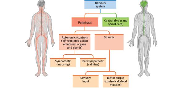 Basic Nervous System MCQ Quiz