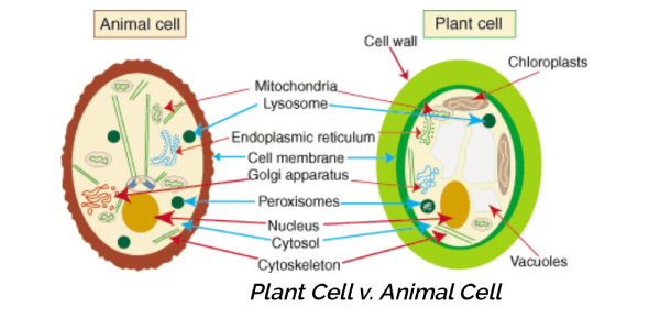 Biology: Plant And Animal Cells! Trivia Quiz