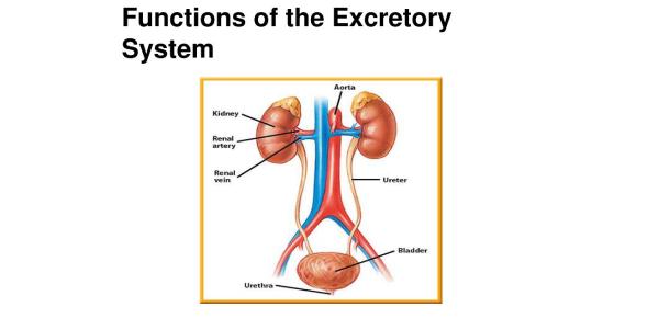 Human Excretory System! Trivia Knowledge Quiz