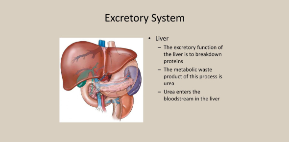 Parts And Functions Of Excretory System! Trivia Quiz