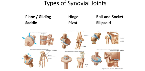 Types Of Synovial Joints! Trivia Questions Quiz