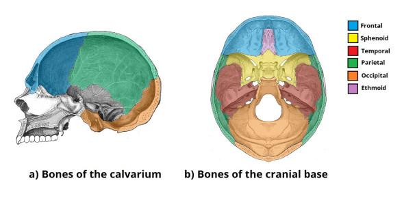 The Skull Anatomy Test! Trivia Quiz