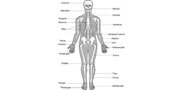 The Human Skeletal System Quiz Questions!