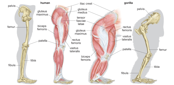 Structure Of The Femur Quiz! Anatomy Trivia