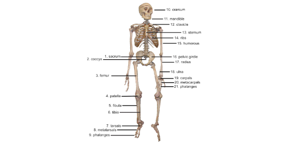 Skeletal System Questions: Quiz