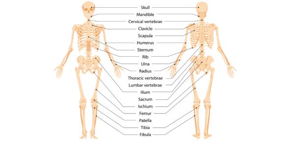 Skeletal System And Bone Anatomy Quiz