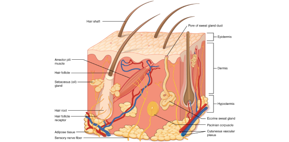 Skin Structure, Growth And Nutrition Quiz! Trivia