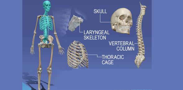 Skull Parts And Vertebral Column Quiz! Trivia