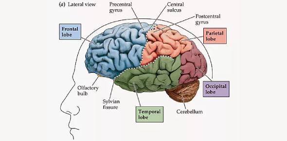 Neuroanatomy Trivia Questions Quiz! Exam