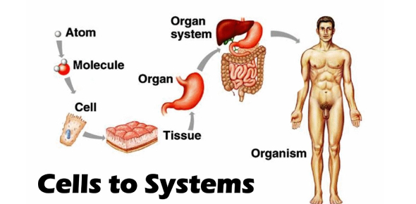 A Quiz On Cells And Body Systems! Trivia