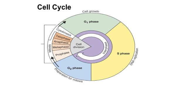 Test: The Cell Cycle MCQ Quiz! Trivia