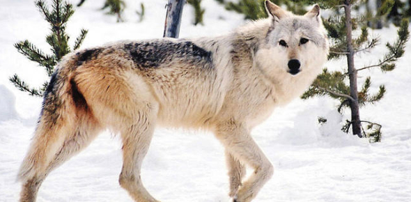 Personality Quiz: What Color Wolf Are You?