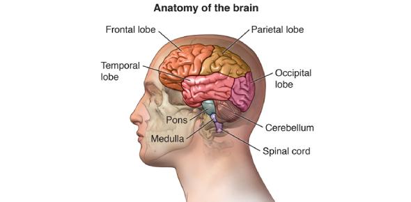 The Brain Anatomy Quiz: Trivia Facts!