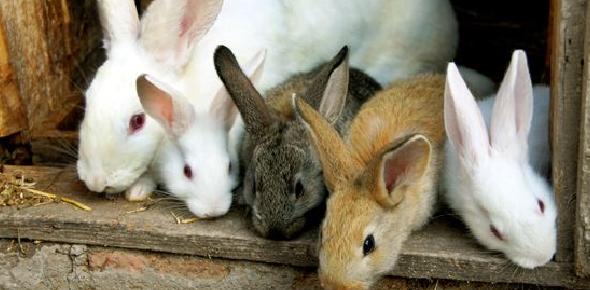 Rabbit Breeding Basic Quiz!