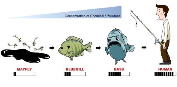 Biostudy - Term 3 Week 4 (Biomagnification)