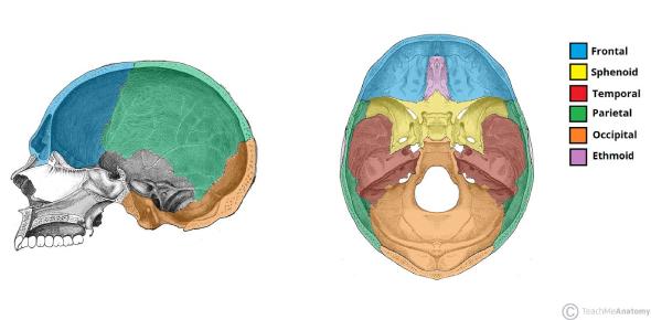 Cranium Bones Anatomy Quiz: Test!