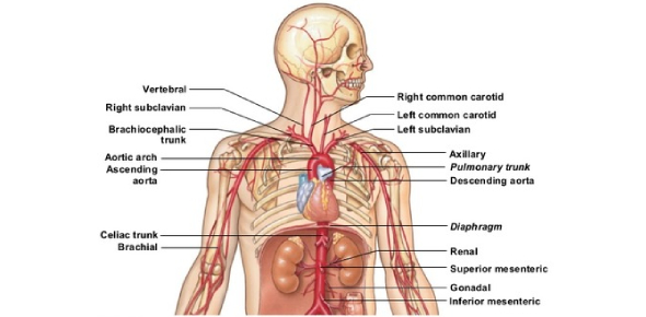 Peripheral Vascular System Quiz: Exam!