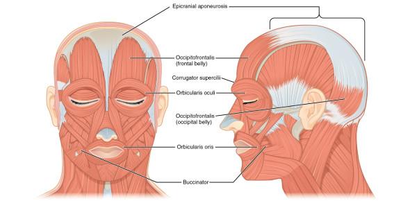 Head And Neck Anatomy Toughest Quiz!