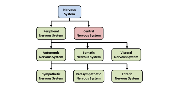 Divisions Of The Nervous System Quiz!