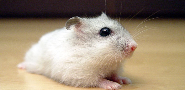 Hamster Quiz: Trivia Facts!