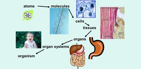 Biological Organization Of Living Things Quiz
