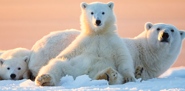 Quiz: How Much Do You Know About Polar Bears?