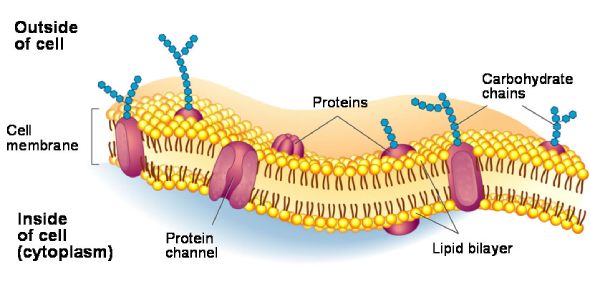 Biology Quiz: Structure And Function Of Cell Membrane!