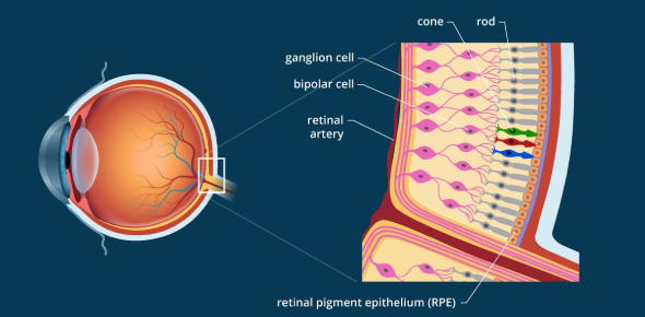 Anatomy Exam About Eyes And Retina