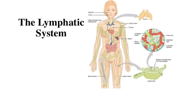 A Quiz On Lymphatic System In The Human Body