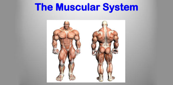Can You Answer These Questions About The Muscular System?