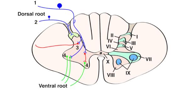 Neuroanatomy And Spinal Cord Trivia Quiz!