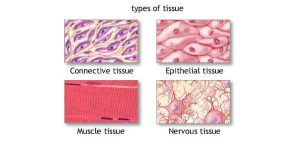 Trivia Quiz On Types Of Tissues!