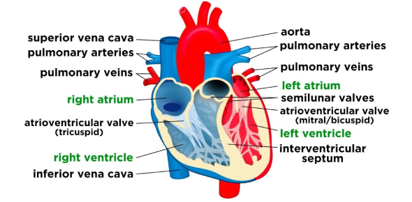 Quiz On Heart And Circulatory System! Trivia