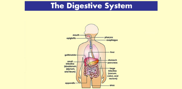Anatomy And Physiology- The Digestive System Test