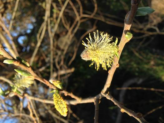 Willow Tree Flowers And Why Bumblebees Like Them.