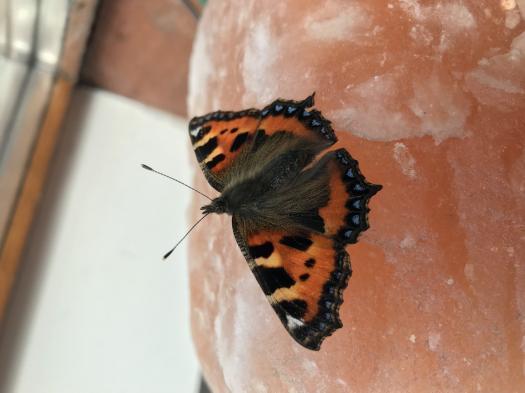 A Few Spring Butterflies