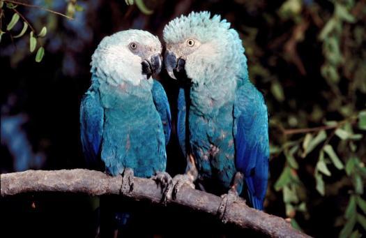 Quiz Da Ararinha Azul
