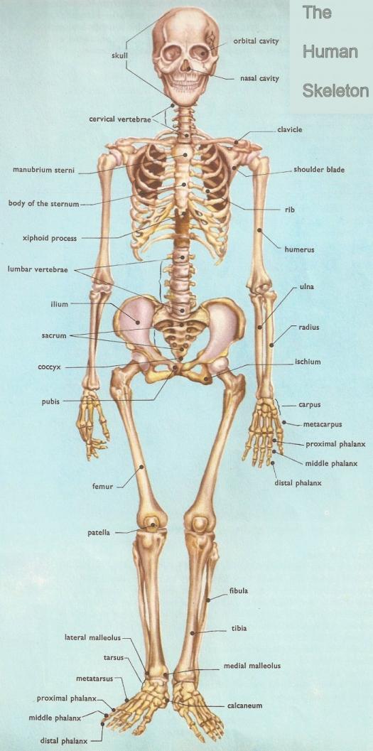 Anatomy Quiz - ProProfs Quiz