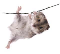 Clinical Applications For Rodents